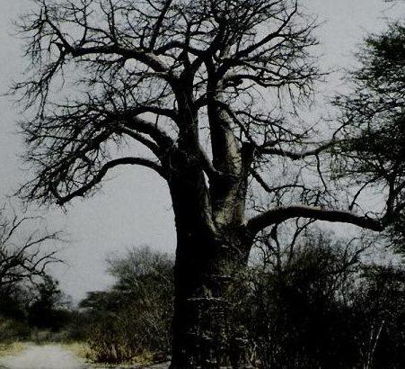 baobab_botswana_ralf-denninger_hochformat