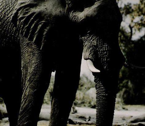 elefant-1_botswana_ralf-denninger_hochformat