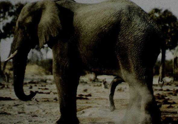 elefant_botswana_ralf-denninger_gross