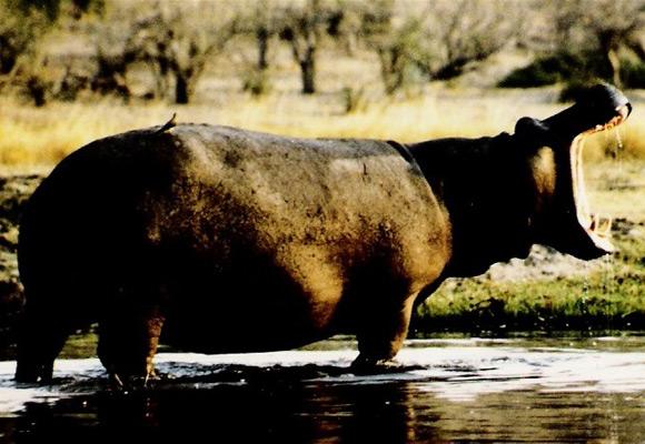hippo_nilpferd_botswana_ralf-denninger
